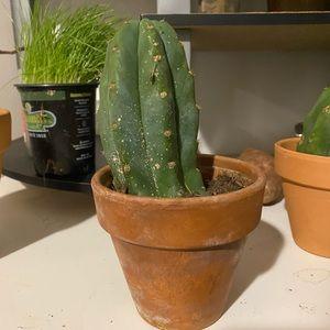 San Pedro cactus young plant